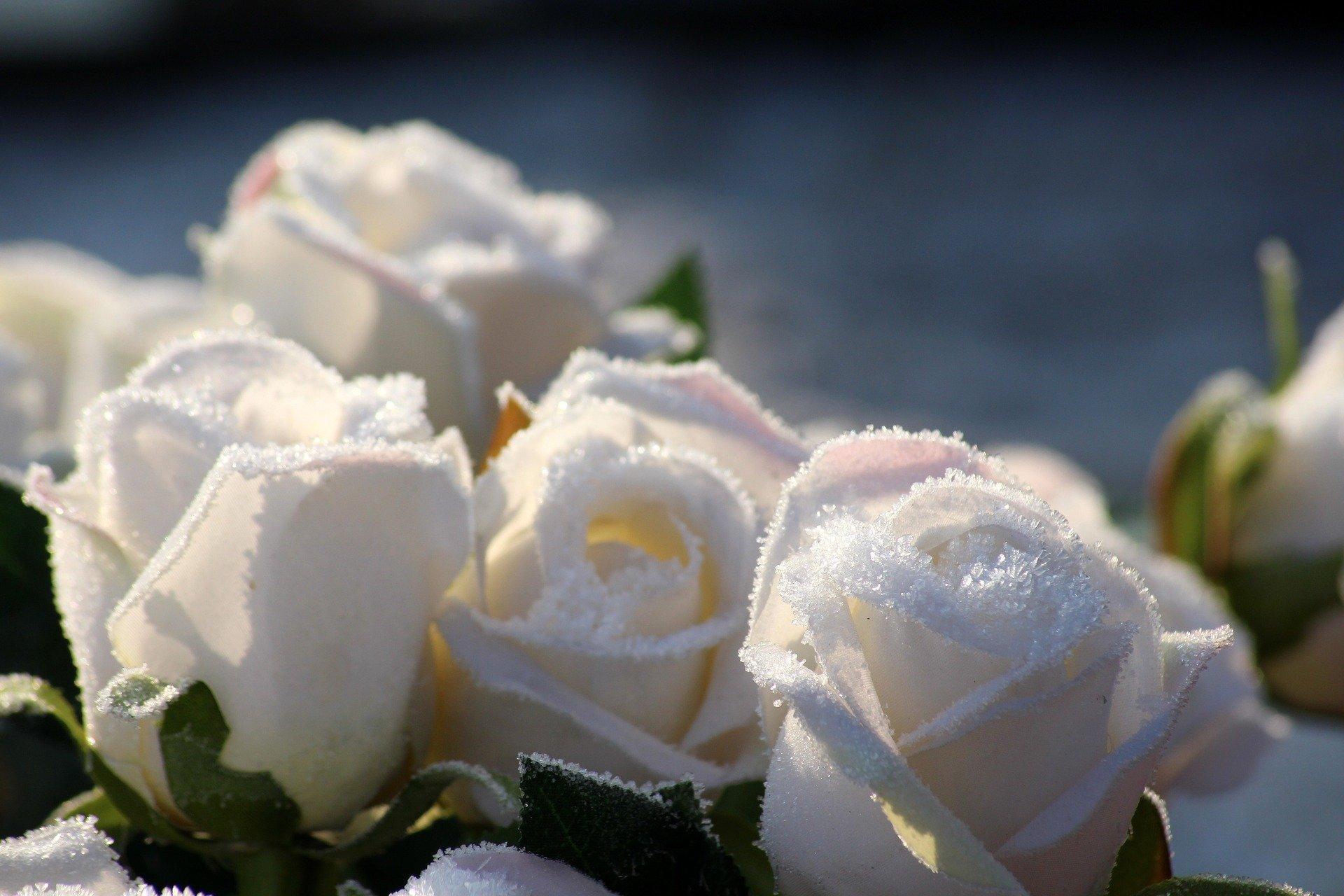 Roses blanches givrées